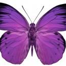 papillon-agiteo